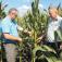 На снимке (слева направо): В.А. Голда, В.И. Ласунов. На кукурузном поле: через пару дней страдает заготовка силоса.